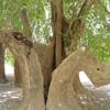 چنار با 1500 سال قدمت در نزدیکی شهر خاتم