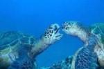 لاکپشت های دریایی کیش