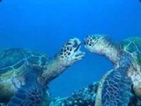 لاکپشت های دریایی کیش از عجایب خلقت |موقعیت اطلاعات کامل