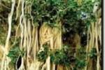 درخت سبز