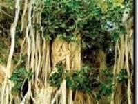 درخت سبز جزیره کیش درختی با عقاید مردم کیش و حاجت ...